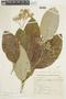 Solanum leucodendron image