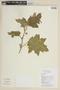 Solanum mammosum L., ECUADOR, F