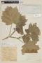 Solanum mammosum L., COLOMBIA, F