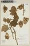Solanum mammosum L., PERU, F