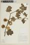 Solanum mammosum L., VENEZUELA, F