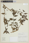 Solanum polytrichostylum Bitter, PERU, F