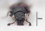 63489 Megalopinus rugipennis HT h IN