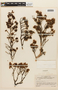 Acanthella sprucei Benth. & Hook. f., VENEZUELA, F