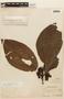 Bellucia grossularioides image