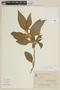 Solanum rufescens Sendtn., BRAZIL, F