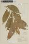 Solanum rufescens var. virescens Hieron., BRAZIL, F