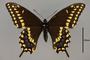 124005 Papilio polyxenes d IN