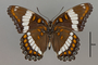124016 Limenitis arthemis v IN