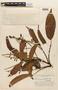 Tachigali paniculata Aubl., BRAZIL, F