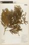 Albizia polycephala image