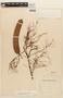 Anadenanthera colubrina image