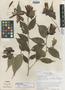 Cavendishia megabracteata Luteyn, PANAMA, J. L. Luteyn 4594, Isotype, F