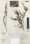 Erica atropurpurea Dulfer, South Africa, E. E. Esterhuysen 24479, Isotype, F