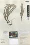 Erica gossypioides E. G. H. Oliv., South Africa, E. E. Esterhuysen 30657, Isotype, F