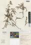 Erica intricata H. A. Baker, South Africa, E. E. Esterhuysen 28224, Isotype, F