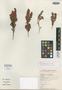 Erica pillarkopensis H. A. Baker, South Africa, E. E. Esterhuysen 33343, Isotype, F