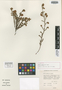Erica pudens H. A. Baker, South Africa, H. A. Baker 2350, Isotype, F