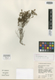 Erica setociliata H. A. Baker, South Africa, E. E. Esterhuysen 30286, Isotype, F