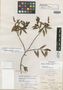 Gaultheria angustifolia Brandegee, MEXICO, C. A. Purpus 2040, Isotype, F