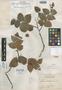 Gaultheria chiriquensis Camp & Schery, PANAMA, P. H. Allen 1542, Isotype, F