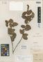 Gaultheria roraimae Klotzsch ex Meisn., BRITISH GUIANA [Guyana], R. H. Schomburgk 639, Isotype, F