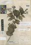 Hornemannia floccosa L. O. Williams, PANAMA, M. E. Davidson 104, Holotype, F