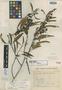Leucothoe eucalyptoides var. glaberrima Sleumer, BRAZIL, H. L. de Mello Barreto 8921, Holotype, F