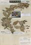 Macleania subracemosa L. O. Williams, Nicaragua, L. O. Williams 23503, Holotype, F