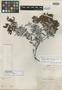 Pernettya robusta Wedd., COLOMBIA, J. J. Linden 915, Isotype, F