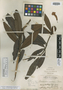 Rhododendron nortoniae Merr., PHILIPPINES, M. S. Clemens 500, Isotype, F