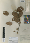 Quercus elliptica image