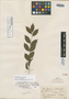 Casearia carpinifolia Benth., BRITISH GUIANA [Guyana], R. H. Schomburgk 103, Isolectotype, F