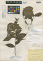 Casearia densiflora Benth., BRITISH GUIANA [Guyana], R. H. Schomburgk 143, Isolectotype, F