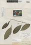 Casearia laurifolia Benth., BRITISH GUIANA [Guyana], R. H. Schomburgk 140, Isolectotype, F