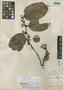 Laetia ovalifolia J. F. Macbr., PERU, G. Klug 757, Holotype, F