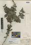 Xylosma flexuosa image