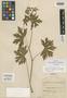Geranium orientale (Maxim.) Freyn, West Germany [Germany], J. Dorfler 337, Type [status unknown], F