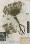Geranium cinereum var. palmatipartitum Hausskn. ex R. Knuth, ARMENIA, P. E. E. Sintenis 2487, Isotype, F