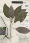Alloplectus deltoideus C. V. Morton, VENEZUELA, J. A. Steyermark 60170, Isotype, F