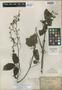 Illigera pierrei Gagnep., South Vietnam, L. Pierre 1956, Isolectotype, F