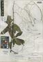 Sparattanthelium macusiorum A. C. Sm., GUYANA, A. C. Smith 3390, Isotype, F
