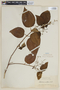 Clidemia rariflora Benth., GUYANA, F