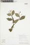 Conostegia montana (Sw.) D. Don ex DC., ECUADOR, F