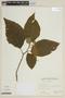 Solanum torvum Sw., VENEZUELA, F