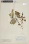 Solanum torvum Sw., COLOMBIA, F