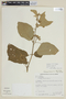 Solanum torvum Sw., BRAZIL, F