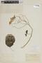 Solanum wendlandii image