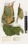 63610 Oecophylla smaragdina Nest IN