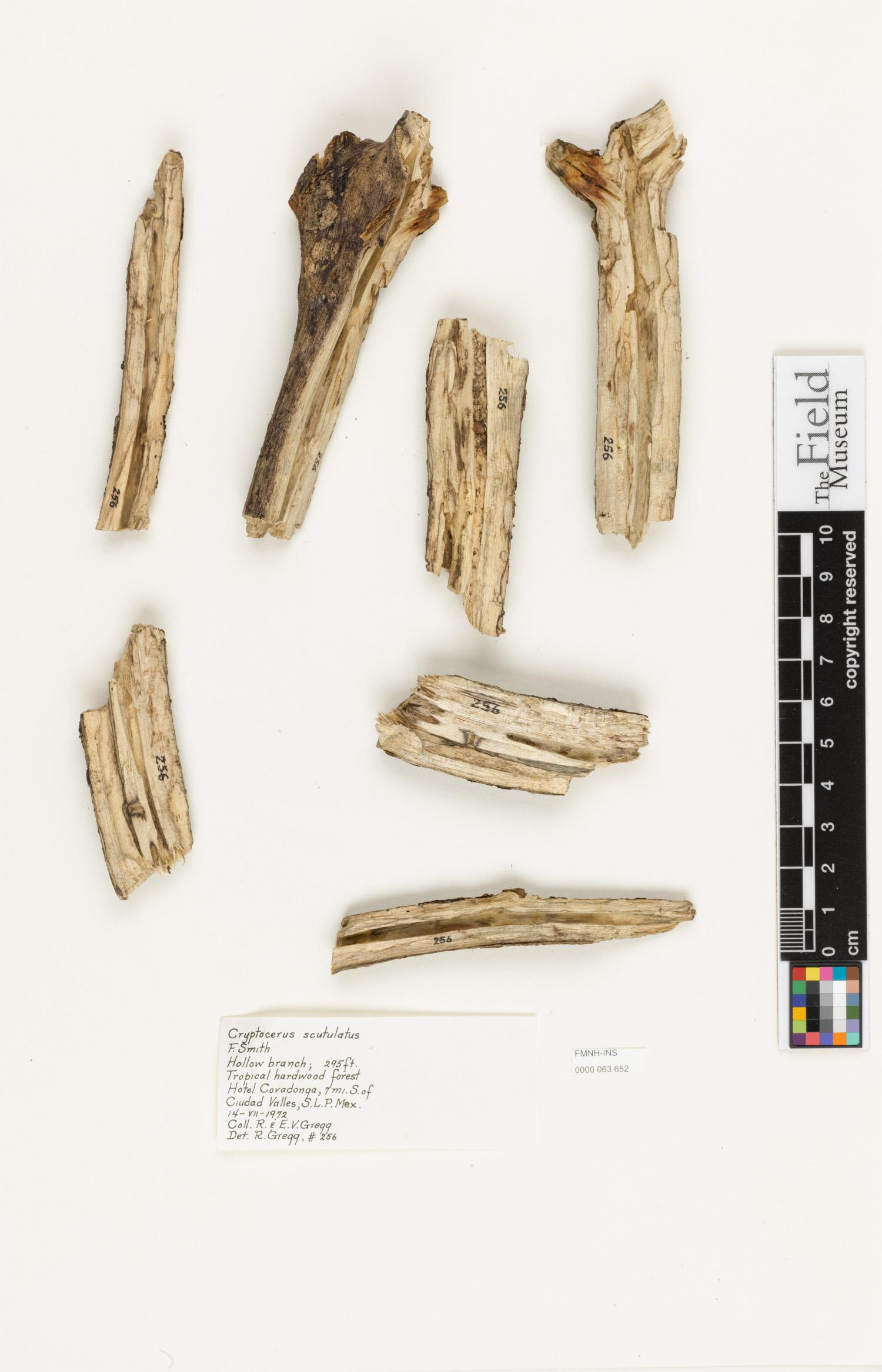 Image of Cephalotes scutulatus
